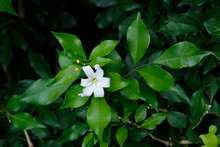 Orange Jessamine Flowers, Trop...