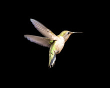 Hummingbird In Flight Isolated On A Black Background