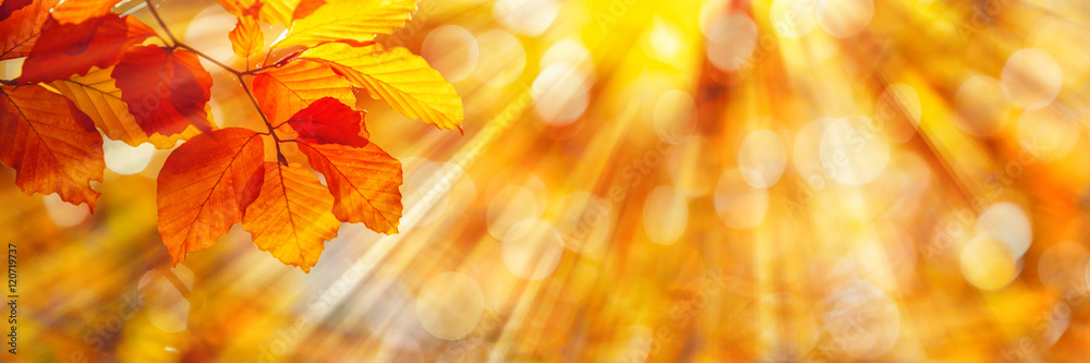Fototapety, obrazy: Beech Leaves in Autumn