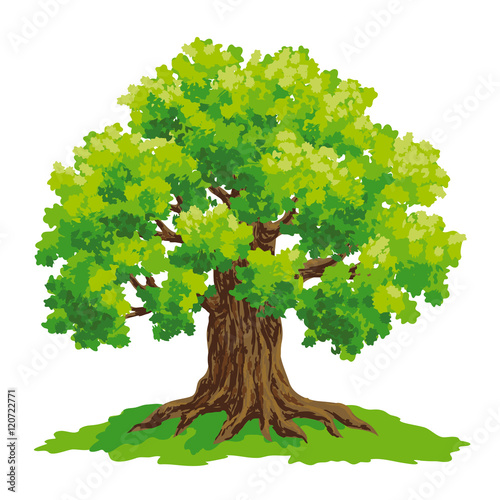 Fotografía  Oak tree - vector drawing