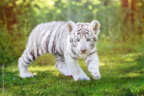Poster Tijger white tiger cub walking outdoors