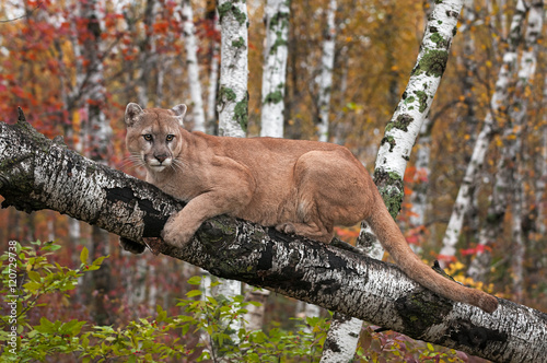 Door stickers Puma Adult Male Cougar (Puma concolor) Looks Out from Birch Branch