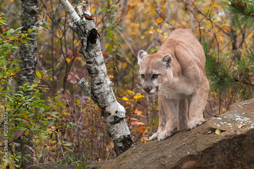 Spoed Fotobehang Puma Adult Male Cougar (Puma concolor) Looks Out from Rock