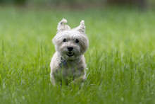 Small Cairn Terrier Dog Runs T...