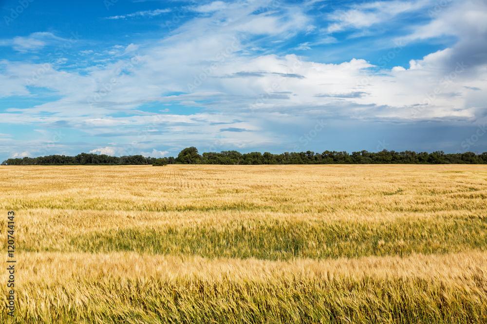 Fototapety, obrazy: Wheat field in North Dakota on a summer day.