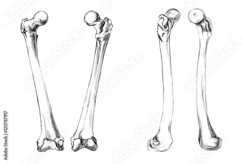 Photo Hand drawn medical illustration drawing with imitation of lithography: Bones of