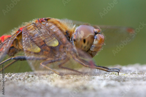 Fotografie, Obraz  Male Common Darter dragonfly close up.