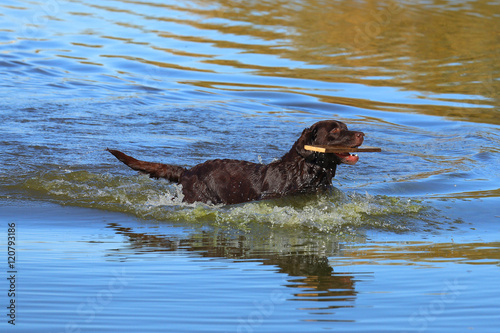 Wet chocolate Labrador in the water Tablou Canvas