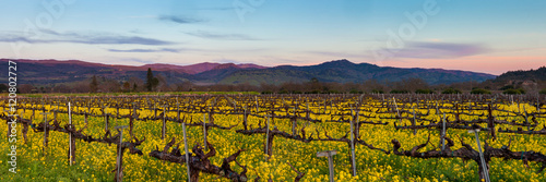 Vignoble Napa Valley wine country panorama at sunset in winter. Napa California vineyard with mustard and bare vines. Purple mountains at dusk with wispy clouds.