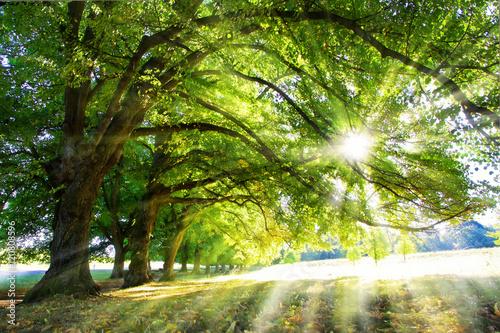 Foto op Canvas Bossen Lichtbaum - Baum mit Sonnenstrahlen