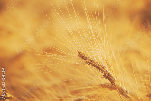 Canvas Prints Culture wheat field with ripe ears ready for harvest in sunset light