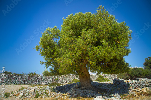 Foto op Canvas Olijfboom Olive tree