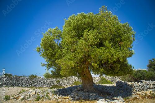 Keuken foto achterwand Olijfboom Olive tree