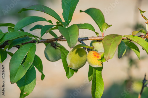 Photo  Young peaches growing on a tree branch.