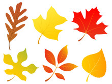 Vector Illustration Of A Variety Of Autumn Leaves: Oak, Poplar, Maple, Mulberry, Walnut And Aspen.