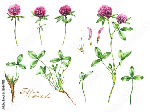 Watercolor botanical drawing of the meadow pink clover trefoil watercolor botanical drawing of the meadow pink clover trefoil illustration isolated on the white background mightylinksfo