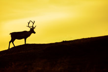 Silhouette Of Deer Against Sky At Sunset