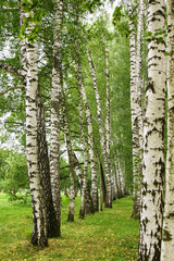 Fototapeta Birch alley in summer