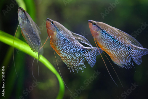 Foto  Pearl gourami (Trichopodus leerii)