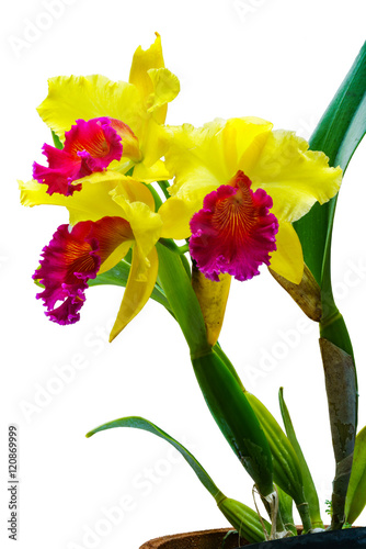 Garden Poster Iris Fresh Cattleya Orchid