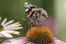 Red Admiral Butterfly In Profile On Echinacea Flower