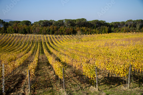 Wall Murals Vineyard tuscany vineyard during the fall season