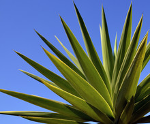 Agave Tequilana Plant To Distill Mexican Tequila Liquor Against Blue Sky. Nature Background.