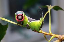 Pus Moth Caterpillar Warning D...