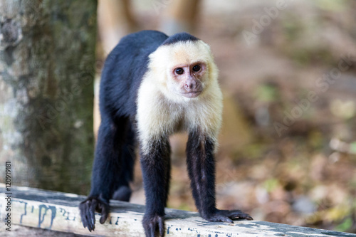 Fotografija  white faced or capuchin monkey