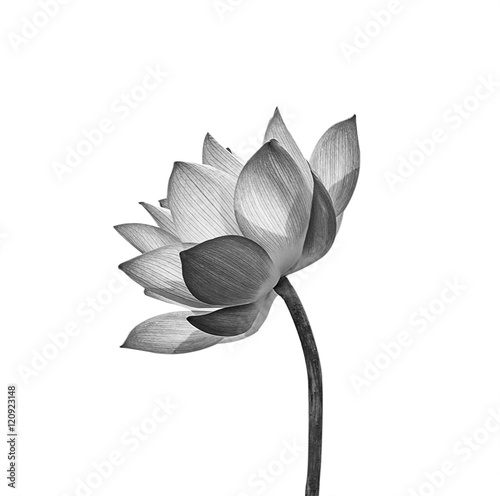 Garden Poster Lotus flower Lotus flower isolated on white background.