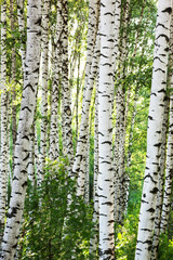 Panel Szklany summer birch forest