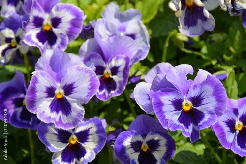 Papiers peints Pansies Beautiful blue violet flowers