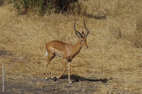 Antelope Antilope, Impala en Afrique