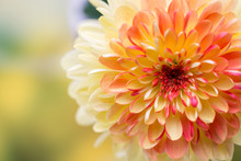 Dahlia Flowers Close Up For Yellow Background.