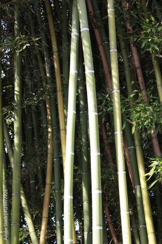 In de dag Bamboo Green bamboo in summer, Italy