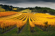 canvas print picture - Vineyard in Autumn