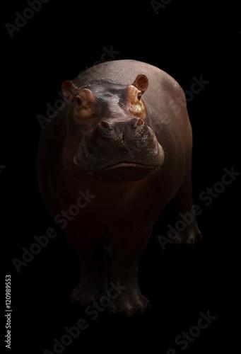 hippopotamus in the dark background