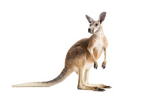 Red Kangaroo On White