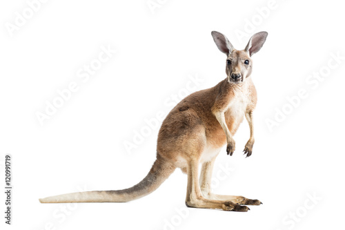 Fotobehang Kangoeroe Red Kangaroo on White