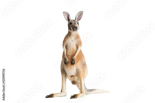 Spoed Foto op Canvas Kangoeroe Red Kangaroo on White