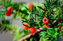 Taxus Baccata With Ripe Red Co...