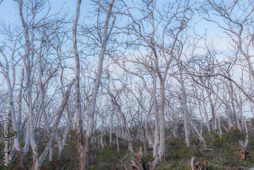 Fotografie, Obraz  オーストラリア・グレートオーシャンロード 死の森