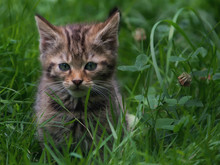 Wildcat Kitten In The Grass