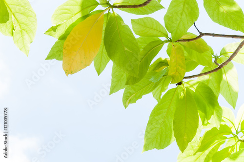 green leaf leaves budding in the spring for background,In