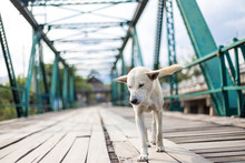 The Dog Was Walking On The Memorial Bridge At Pai District, Mae Hong Son Province, Thailand