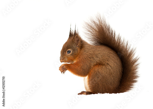 Spoed Foto op Canvas Eekhoorn Red squirrel in front of white background