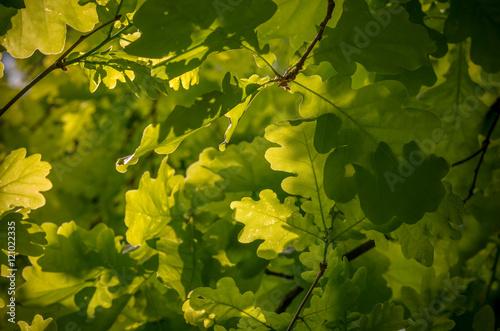 Fotografía  Oak leaves background