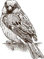 Fototapeta Ptaki sketch of a city sparrow