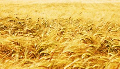 Obraz na Szkle Wiejski Kornfeld