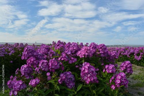 Fototapeta Small purple flowers obraz na płótnie